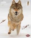 Kalender Wolf Wölfe